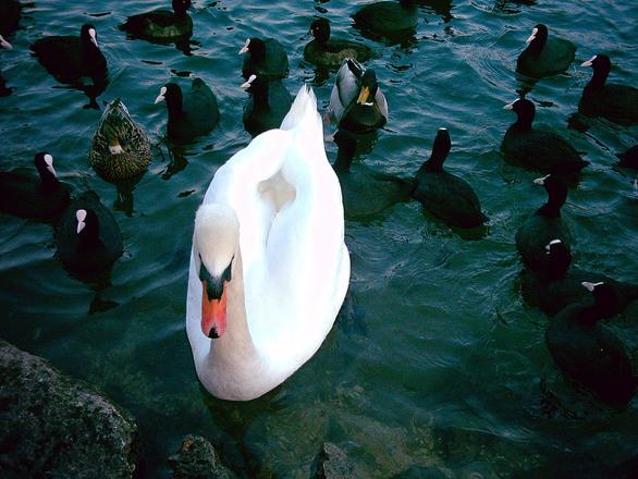 swan-and-ducks